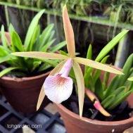 Brassocattleya Chariya hybrid