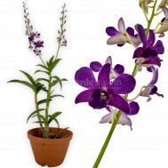 Dendrobium Blue Violetta x Dendrobium Burana Dark Blue