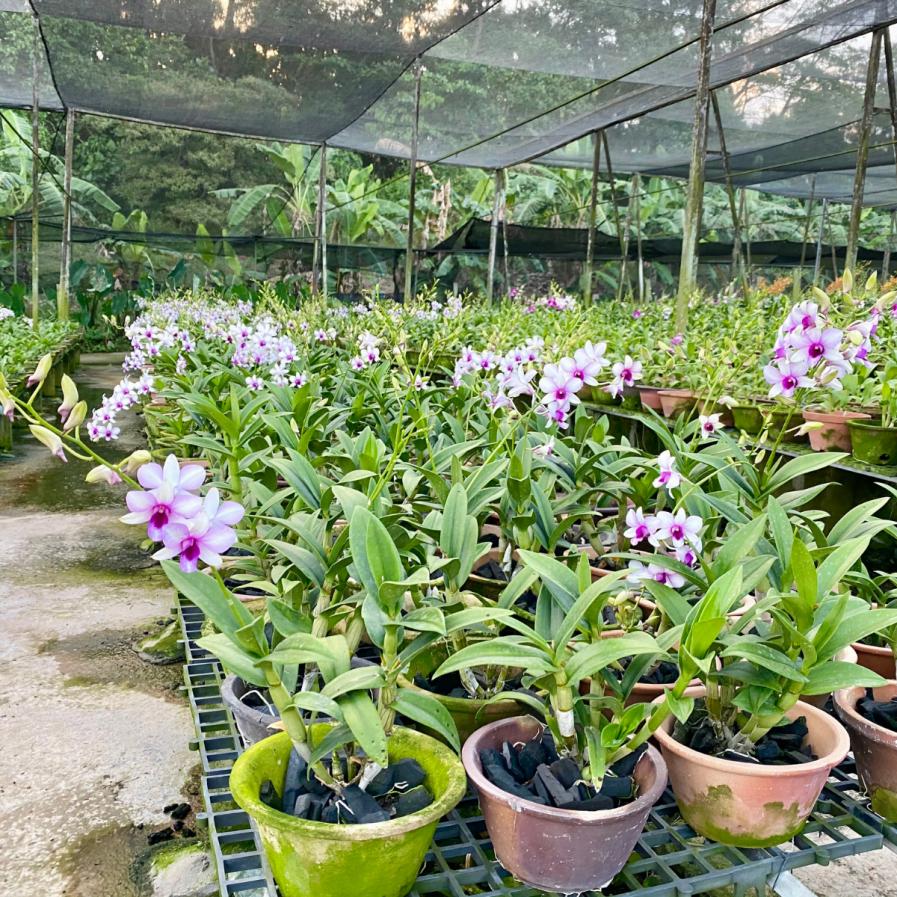 Dendrobium Hiang Beauty (1983)