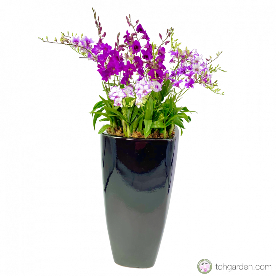 Dendrobium Mini (15 in 1) in Tall Planter