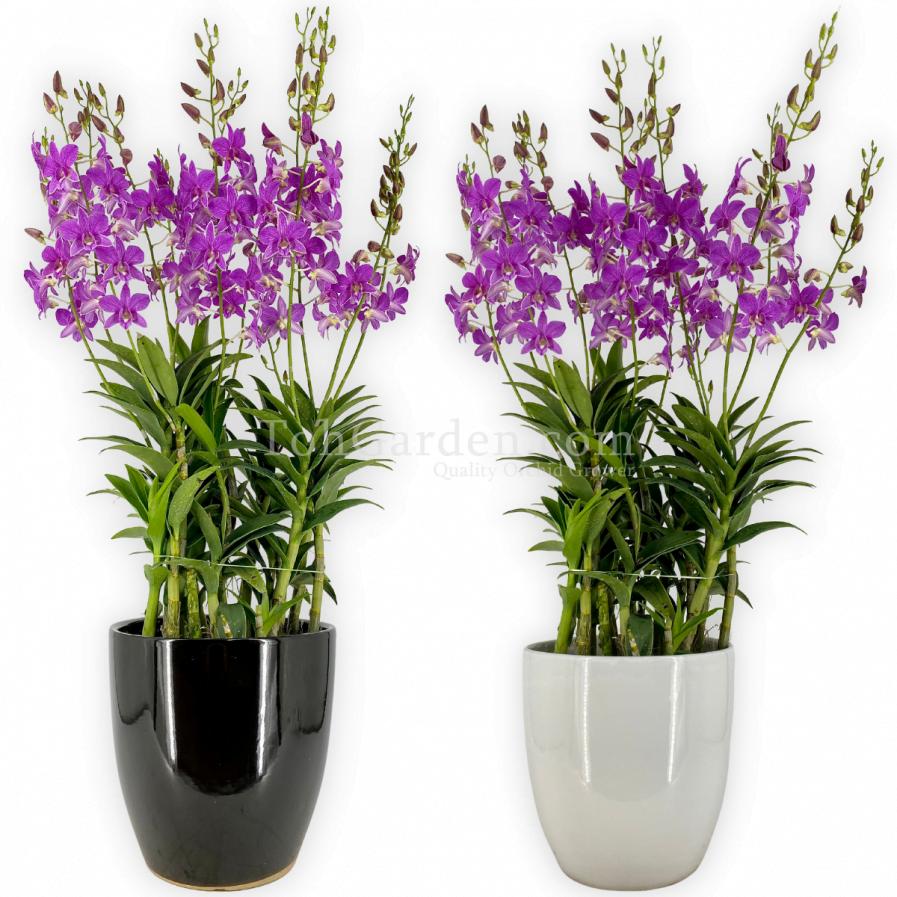 Dendrobium Mother Terasa Arrangement (5 in 1)