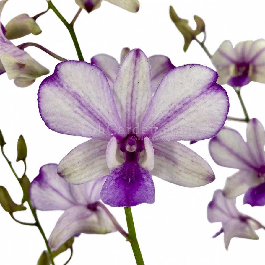 Dendrobium Popeye