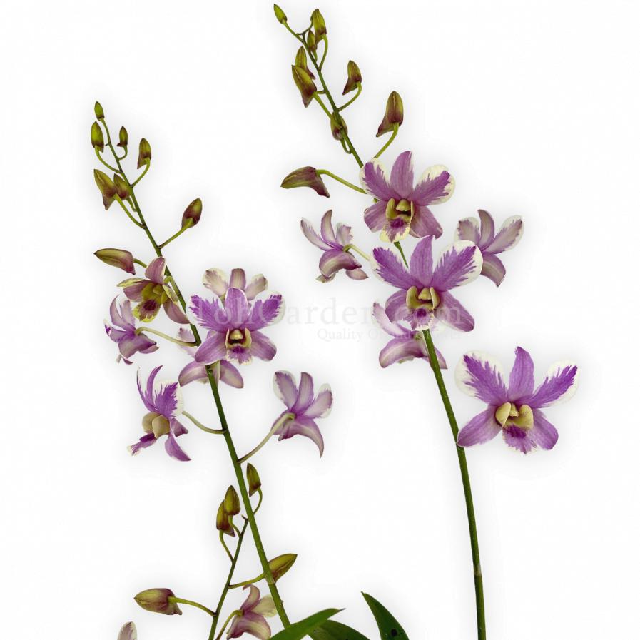Dendrobium Shavin Splash