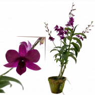 Dendrobium Tay Swee Keng