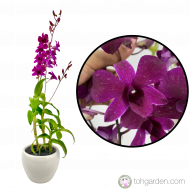 Dendrobium Tay Swee Keng (1 in 1)