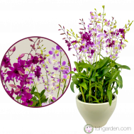 Dendrobium Tay Swee Keng & Dendrobium Lucian Pink (6 in 1)