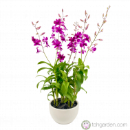Dendrobium Tay Swee Keng (3 in 1)