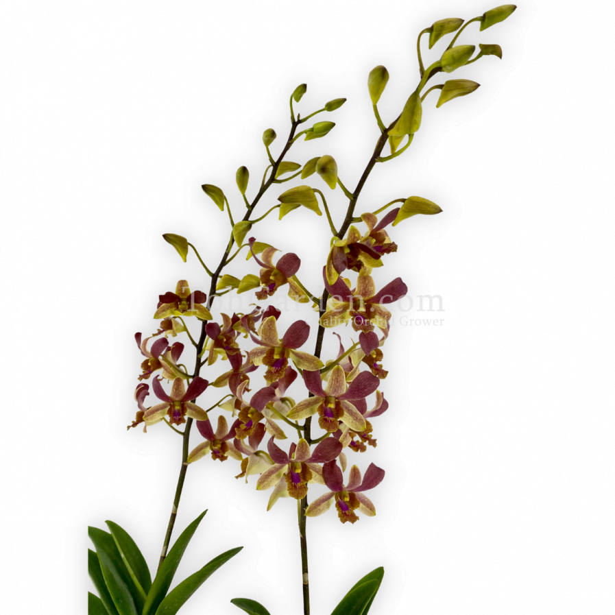 Dendrobium Tommy Sng (2007)