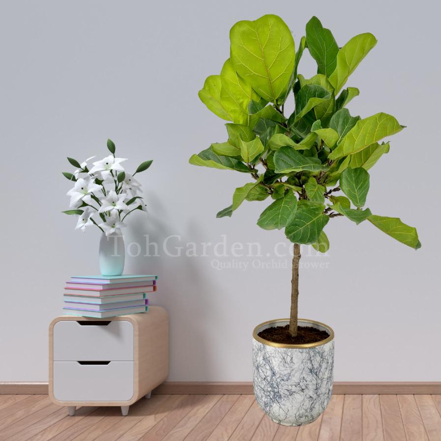 Ficus Lyrata - 琴叶榕 (1.40m)