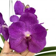 Hanging Vanda Purple