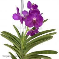 Hanging Vanda Purple (Seasonal)