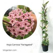 Hoya carnosa varigated