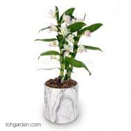 Japanese Nobile Dendrobium
