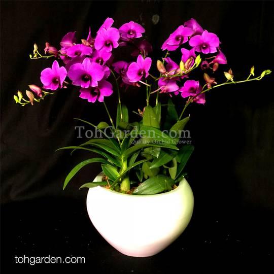 Mini Dendrobium Arrangement