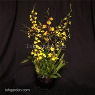 Oncidium-arrangement