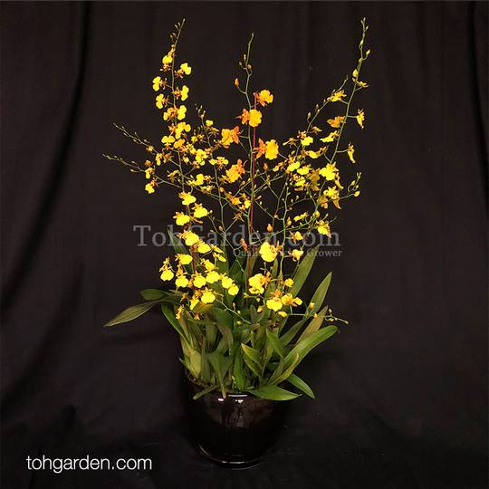 Oncidium-arrangement