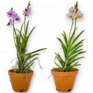 Papilaenopsis Hao Xiang Ni (New Hybrid)