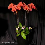 Orange Phalaenopsis (3 in 1) with Mini Dendrobium Arrangement