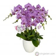 Phalaenopsis Candy Stripe (7 in 1)