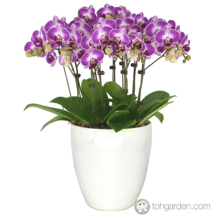 Phalaenopsis Purple Star (5 in 1).jpg
