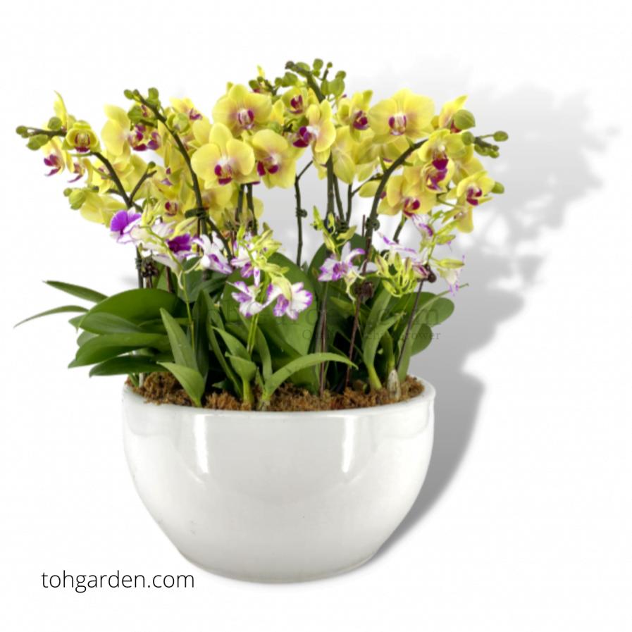 Phalaenopsis Yellow (8 in 1) with Dendrobium Enobi in Bowl Planter (1)