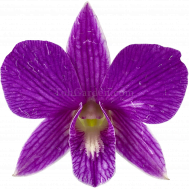 Dendrobium Mother Terasa