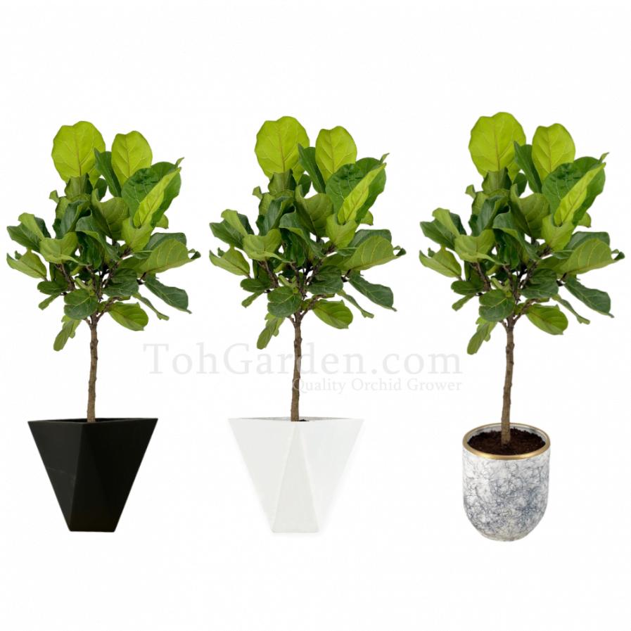 Ficus Lyrata (1.40m)