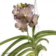 Hanging Vanda Kulwadee Fragrance Hybrid