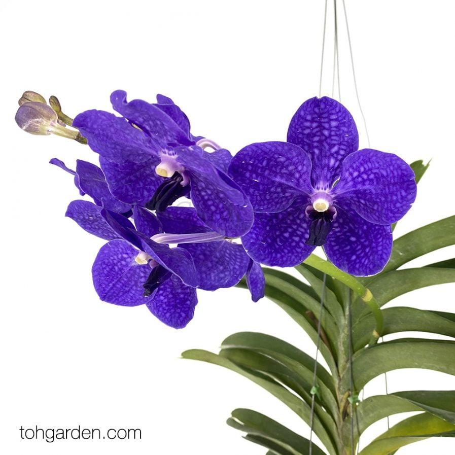 Hanging Vanda Manuvadee Blue (Seasonal)