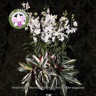 dendrobium shavin white with stroman the sanguinea