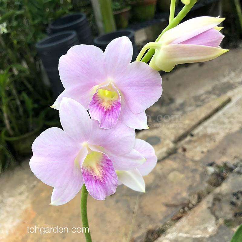 Dendrobium Erika