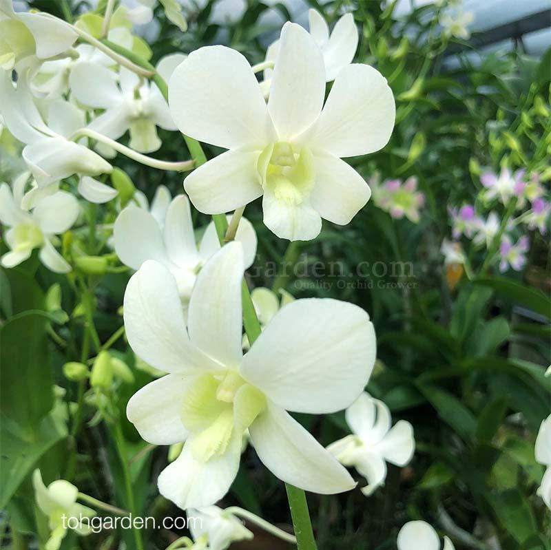 Dendrobium Shavin White (1991)