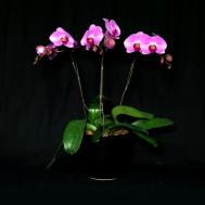 Horizon Phalaenopsis Arrangement (3-in-1)