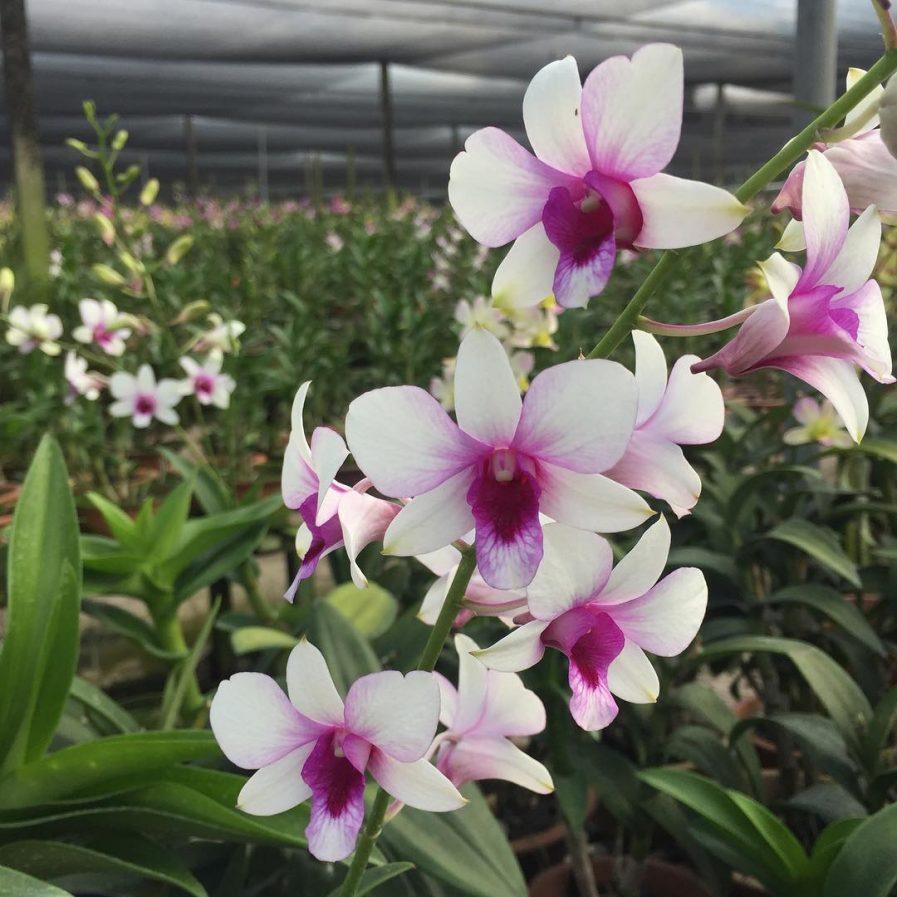Dendrobium Hiang Beauty (1982)