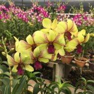 Dendrobium Sri Siam hybrid