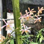 Pararachnis Anna Phung pink (Cutting)
