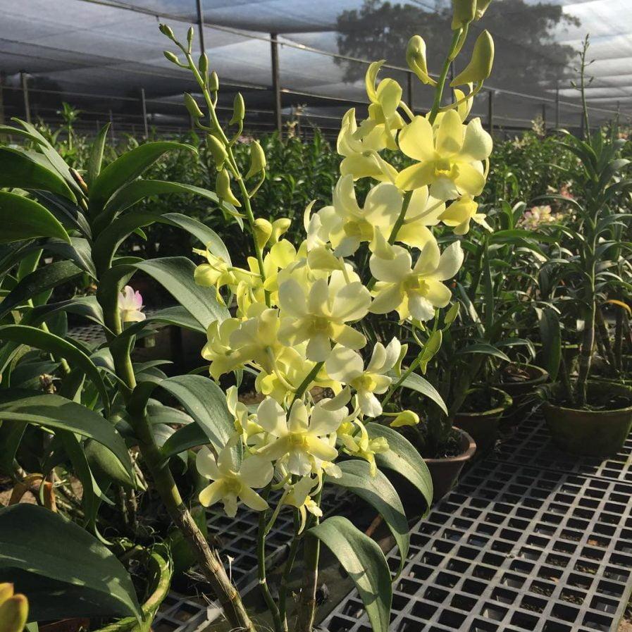 Dendrobium Aridang Green (2006)