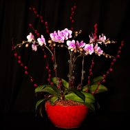 Phalaenopsis (Any Color) with Red Pussy Willow