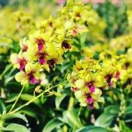 Dendrobium Thongchai Gold hybrid