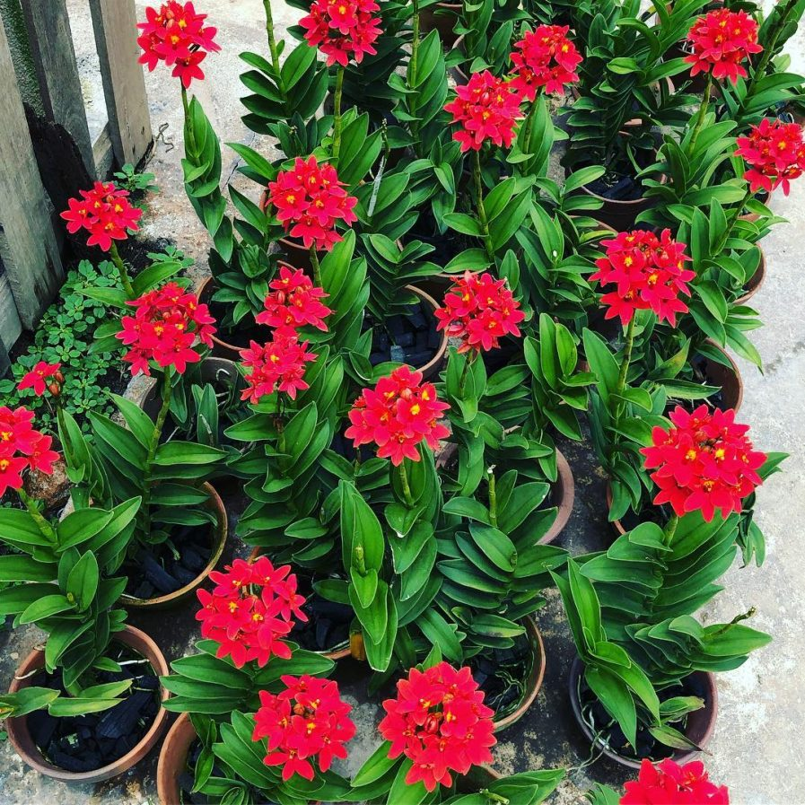 Red Epidendrums