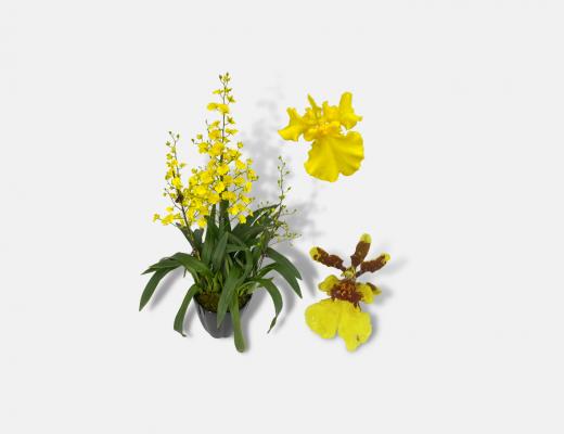 Oncidium Plant Banner