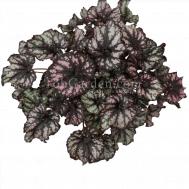 Begonia Cumbia