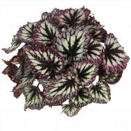 Begonia Leaf fireworks