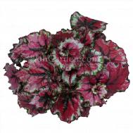 Begonia Magic Colours Ballroom