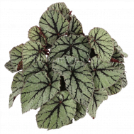 Begonia Magic Colours Fedor