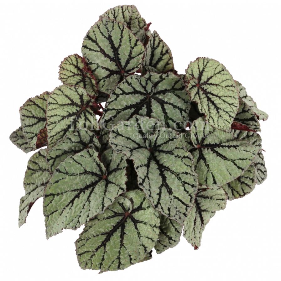 Begonia Magic Colours Fedor