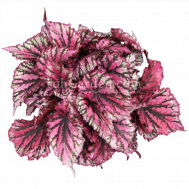 Begonia Magic Colours Lambada