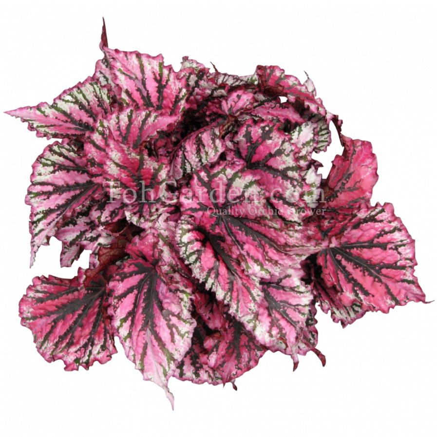Begonia Magic Colours Lambada