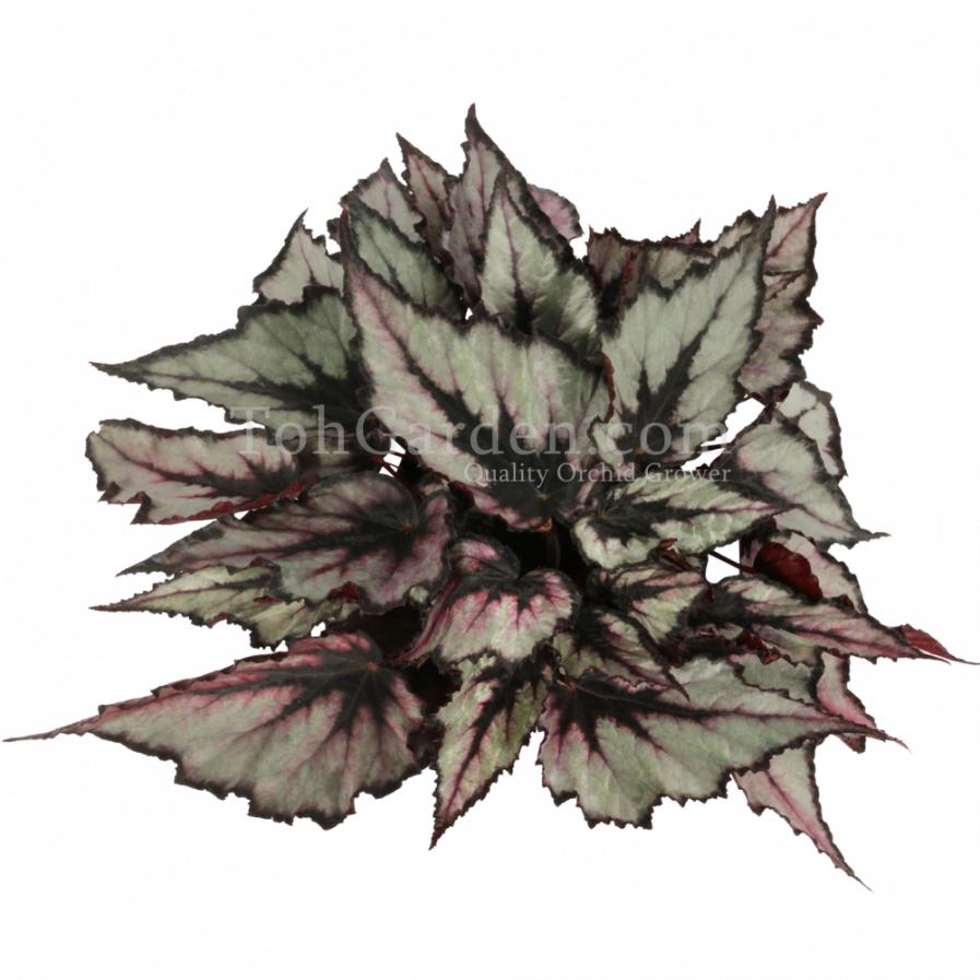 Begonia Magic Colours Magma