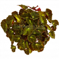 Begonia Magic Colours Montuno